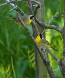 2010Mgrtn_1980-Common-Yellowthroat.jpg