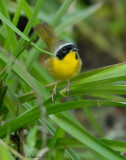 2010Mgrtn_1985-Common-Yellowthroat.jpg