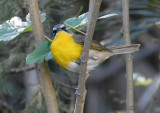 2010Mgrtn_2005-Yellow-breasted-Chat.jpg