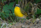2010Mgrtn_2010-Yellow-breasted-Chat.jpg