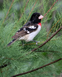 2010Mgrtn_2025-Rose-breasted-Grosbeak.jpg