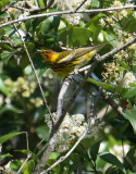 2010Mgrtn_2075-Cape-May-Warbler.jpg