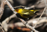 2010Mgrtn_2090-Cape-May-Warbler.jpg