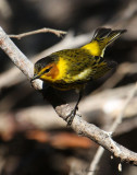 2010Mgrtn_2100-Cape-May-Warbler.jpg