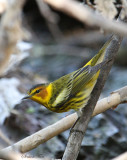 2010Mgrtn_2105-Cape-May-Warbler.jpg