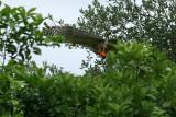 The Fishing Red-shoulder Hawk