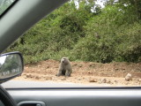 Baboon chillin' by the side of the road.