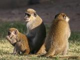 Green Monkey (Chlorocebus sabaeus)