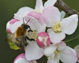 Bee on Apple-Blossom