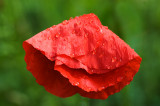 Flamenco Poppy
