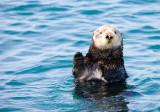 Sea Otter, Elkhorn Slough