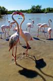 Flamingo Face-off