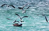 Pelican under Pressure