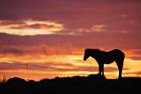 Connemara Foal