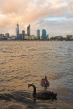 Black Swans and Perth skyline at sunset