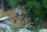 Tiger Cubs - born March 08