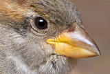 Friendly Sparrow