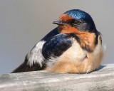 Resting Barn Swallow