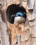 Timid Tree Swallow