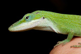 Green Anole on my Hand