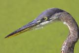 Blue Heron Looking