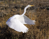 Egret Takes Flight