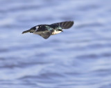 Tree Swallow over water