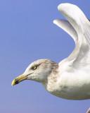 Close Seagull