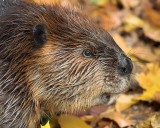 Hello Beaver!