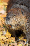 Beaver Smile?