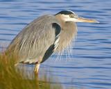 Blue Heron Ponders