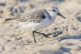 Sanderling's Sandy Beak