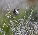 Bell's Sage Sparrow