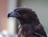 Red Tail Hawk Profile