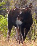 Bull Moose Steam