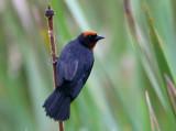 Male Chestnut-capped Blackbird