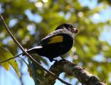 Black-and-gold Cotinga