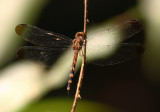 Uracis ovipositrix
