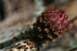 Beavertail Bud