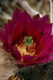 Hedgehog Bloom