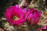 Hedgehog Blooms