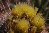 Barrel Cacti Blooms