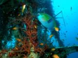 Parrotfish at the Satil