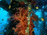 Soft Coral & Anthias at the Satil