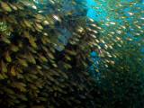 Glassy Sweeperfish