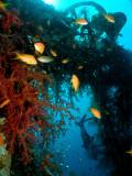 Soft Corals & Anthias at the Satil Wreck