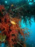 Satil Soft Coral