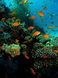 Anthias & Hard Coral at Moses Rock