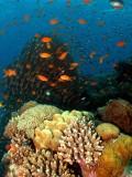 Hard Corals & Anthias at Moses Rock