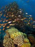 Hard Corals & Sweeper Fish at Moses Rock